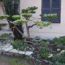 Juniperus 2 ans après