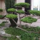 Juniperus 3 ans après