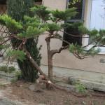 Juniperus après travail
